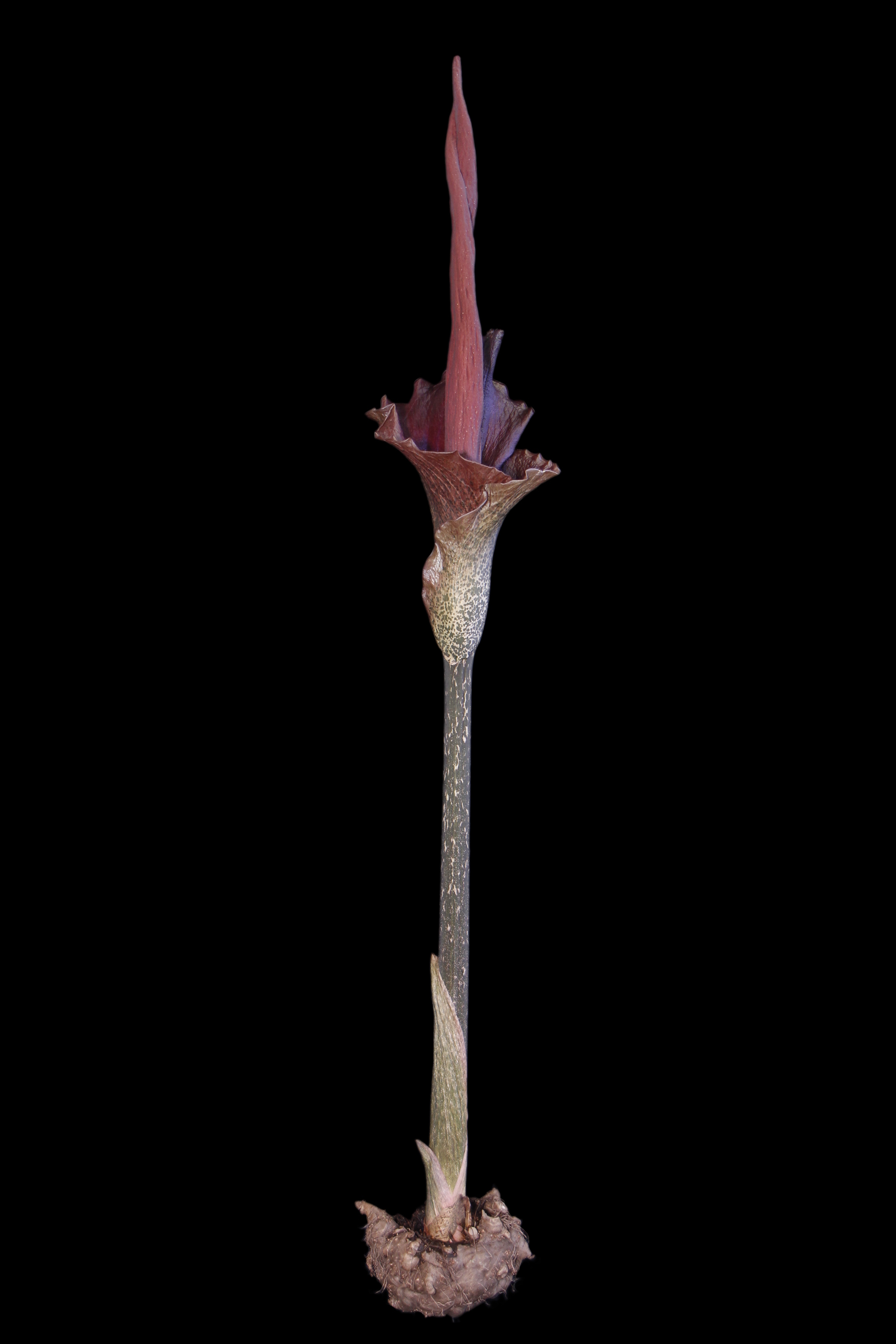 Amorphophallus konjac with corm