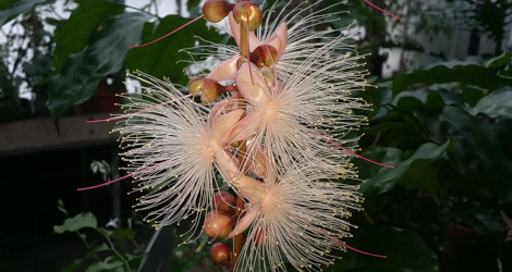Barringtonia racemosa