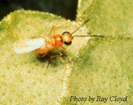Photo courtesy Midwest Biological Control News Website